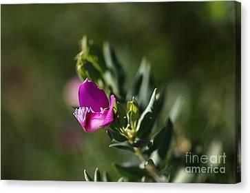 Pink Blush - Sweet Pea Bush  Canvas Print by Joy Watson