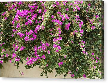 Pink Bougainvillea Growing On Wall Canvas Print