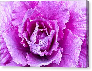 Pink Cabbage Canvas Print by Crystal Hoeveler