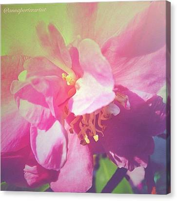 Edit Canvas Print - Pink Camellia Vintique Edit by Anna Porter