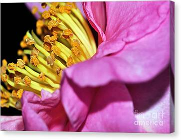 Pink Camellia And Stamen Canvas Print by Kaye Menner