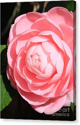 Pink Camellia Side Canvas Print by Carol Groenen