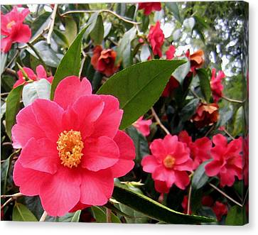 Pink Camellias Canvas Print by Will Borden