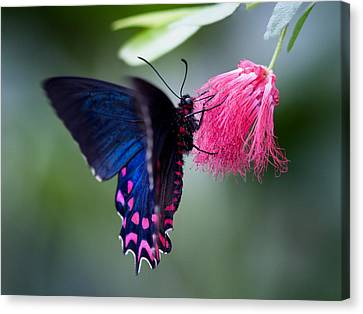 Canvas Print featuring the photograph Pink Cattleheart Butterfly by Zoe Ferrie