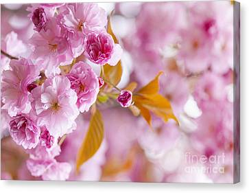 Pink Cherry Blossoms In Spring Orchard Canvas Print by Elena Elisseeva