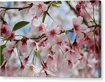 Canvas Print featuring the photograph Pink Cherry Blossoms by Jocelyn Friis