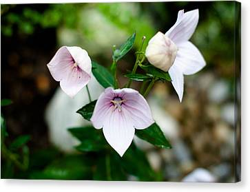 Pink Chinese Bellflower Canvas Print by Frank Gaertner