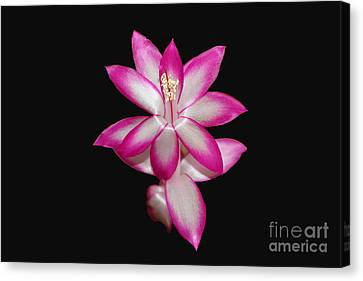 Pink Christmas Cactus On Black Canvas Print by Michael Waters
