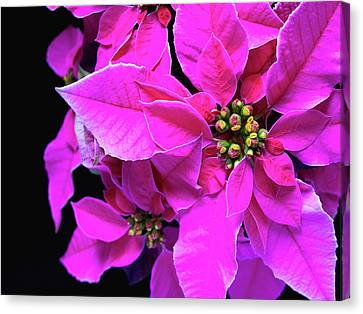 Canvas Print featuring the photograph Pink Christmas by Charles Lupica