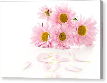 Pink Chrysanthemums Beautiful Canvas Print