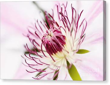 Pink Clematis Close Up - Dreamy Canvas Print by Natalie Kinnear