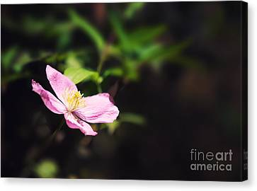 Pink Clematis In Sunlight Canvas Print by Jane Rix