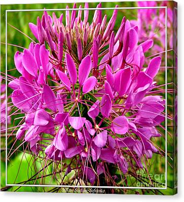 Pink Cleome Flower Canvas Print by Rose Santuci-Sofranko