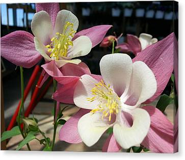 Canvas Print featuring the photograph Pink Columbine by Caryl J Bohn