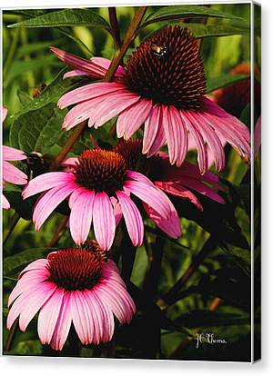 Canvas Print featuring the photograph Pink Coneflowers by James C Thomas