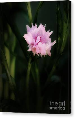 Canvas Print featuring the photograph Pink Cornflower by Marjorie Imbeau