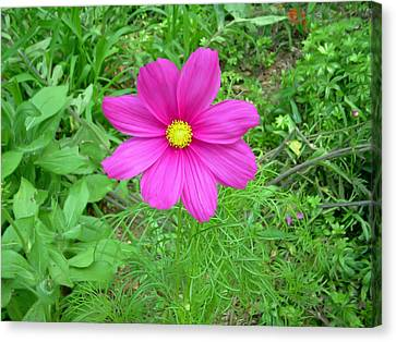 Pink Cosmos Canvas Print by Aimee L Maher Photography and Art Visit ALMGallerydotcom