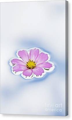 Pink Cosmos Flower Floating On Water Canvas Print by Tim Gainey