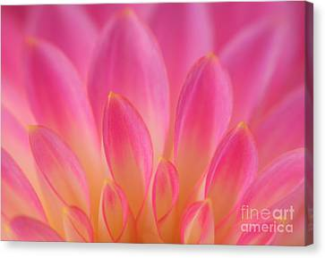 Pink Dahlia Close-up Canvas Print