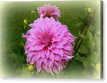 Pink Dahlia Canvas Print by Donna Walsh