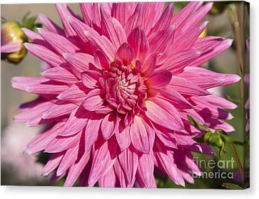 Pink Dahlia II Canvas Print by Peter French
