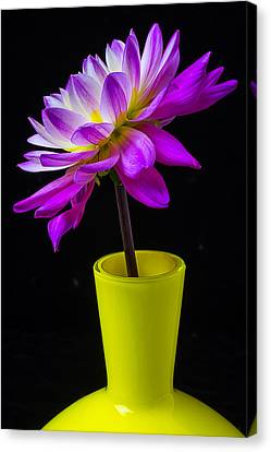 Pink Dahlia In Yellow Vase Canvas Print by Garry Gay
