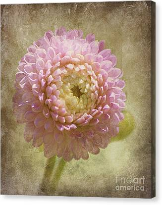 Pink Dahlia  Canvas Print by Irina Hays