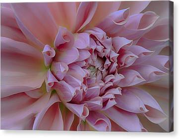 Canvas Print featuring the photograph Pink Dahlia by Jacqui Boonstra