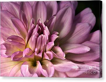 Pink Dahlia's Dream Canvas Print