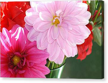 Pink Dahlias In The Morning Canvas Print