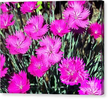 Pink Daisies Canvas Print by Gena Weiser