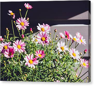 Pink Daisies Canvas Print by Pati Photography