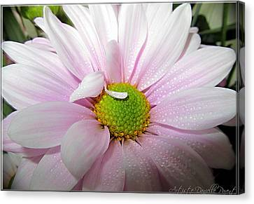 Pink Daisy Freshness With Water Droplets Canvas Print by Danielle  Parent