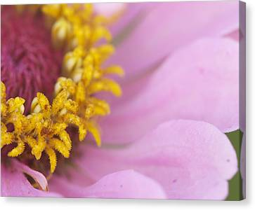 Pink Daisy Canvas Print by Phyllis Peterson