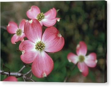 Pink Dogwood Blooms Canvas Print