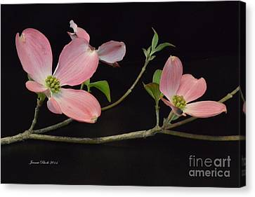 Canvas Print featuring the photograph Pink Dogwood Branch  by Jeannie Rhode