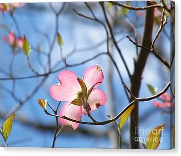 Wisteria In Bloom Canvas Print - Pink Dogwood by Cheryl Hardt Art