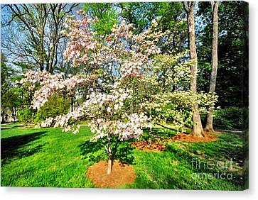 Pink Dogwood Canvas Print by Donald Groves