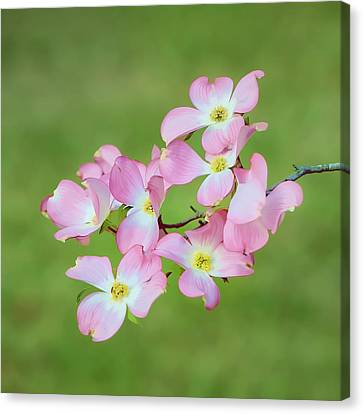 Pink Dogwood Watercolor Canvas Print by Dan Holland