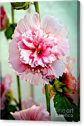 Pink Double Hollyhock Canvas Print by Robert Bales