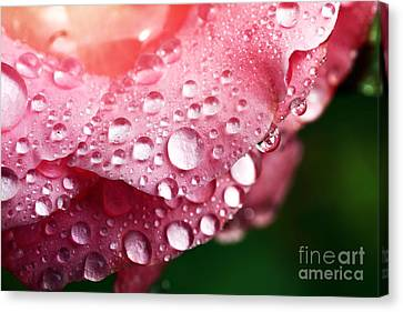 Pink Drops Canvas Print by John Rizzuto