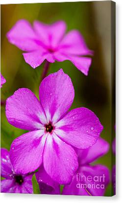 Pink Drummond Phlox Wildflowers With Raindrops Canvas Print
