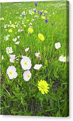 Pink Evening Primrose (oenothera Canvas Print by Larry Ditto