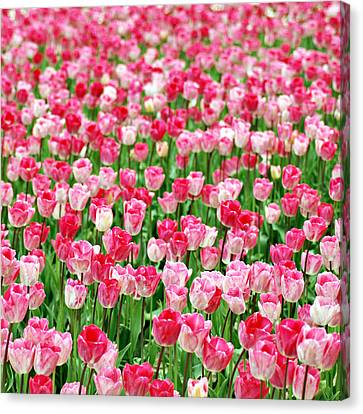 Canvas Print featuring the photograph Pink Field by Kjirsten Collier