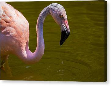 Pink Flamingo Canvas Print by Garry Gay