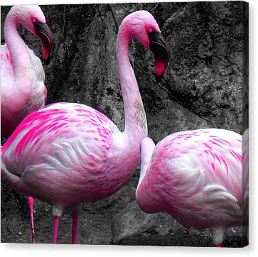 Canvas Print featuring the photograph Pink Flamingos by J Anthony