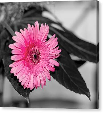 Pink Flower Canvas Print by Amr Miqdadi
