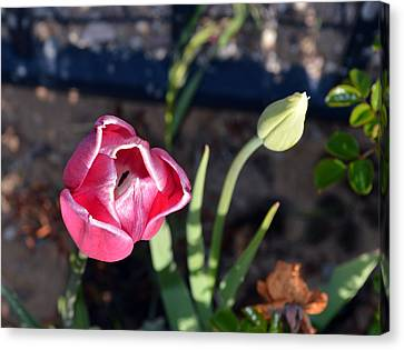 Pink Flower And Bud Canvas Print by Brent Dolliver