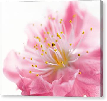 Pink Flower Canvas Print by Panoramic Images