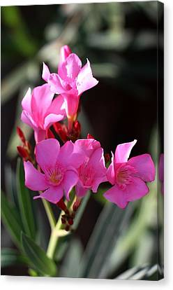 Pink Flower  Canvas Print by Ramabhadran Thirupattur